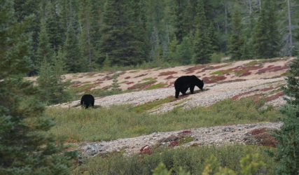 Couple d'ours noirs